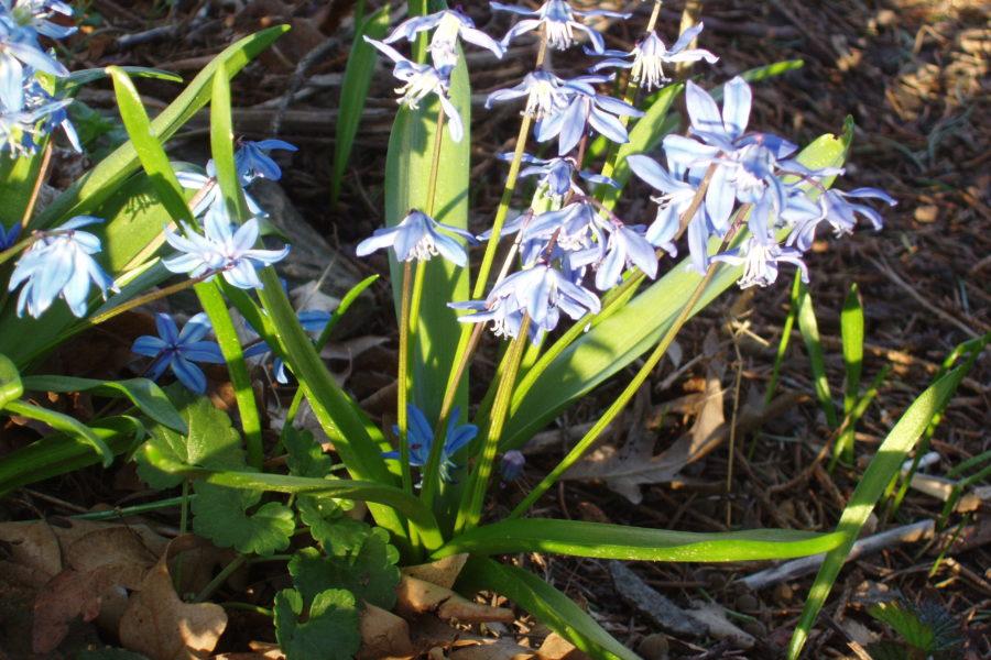 scilla flowers